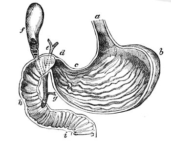 PSM V17 D627 The stomach laid open behind.jpg