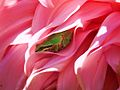 Pacific Tree Frog on Dahlia in South Everett Washington USA (1).JPG
