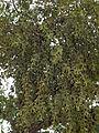 Pacific mistletoe (Phoradendron villosum) (5831674572).jpg