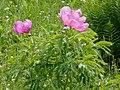 Paeonia officinalis 2 RF.jpg