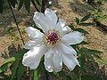 Paeonia suffruticosa cv5.jpg