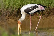 Painted stork foraging.jpg