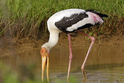 Painted stork foraging