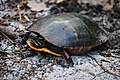 Painted turtle mom (13902677186).jpg