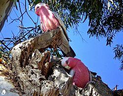 Un couple de cacatoès rosalbins, préparant leur nid dans un eucalyptus, en Australie