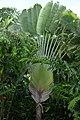 Palma del viajero (Ravenala madagascariensis) (14519360474).jpg