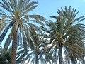 Palmiers-dequoi.jpg