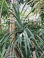 Pandanus tectorius1.jpg