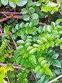 Pandorea pandorana subsp austrocaledonica RBGS.jpg