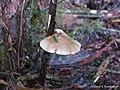Panellus longinquus (Berk.) Singer 988528.jpg