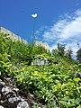 Papaver dubium subsp. austromoravicum sl14.jpg