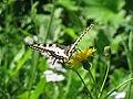 Papilio machaon Sungul 1.jpg