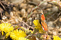 Papillon pissenlit.jpg