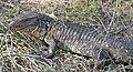 Paraguay Caiman Lizard (Dracaena paraguayensis) (48434599422).jpg