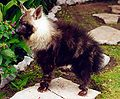 Parahyaena brunnea puppy.jpg