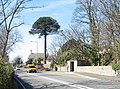 Parana pine at the crossroads - geograph.org.uk - 388635.jpg