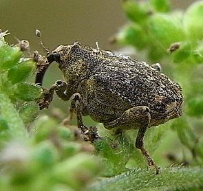 Parethelcus pollinarius natur.jpg