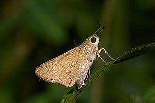 <i>Parnara bada</i> species of insect