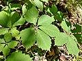 Parthenocissus quinquefolia foliage.jpg