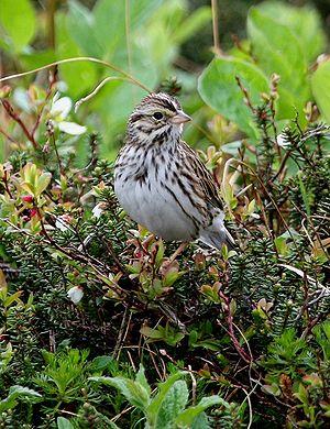Savannah sparrow - Image: Passerculus sandwichensis