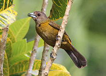 Passerinis tanager female.jpg