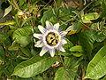 Passiflora caerulea 01.jpg