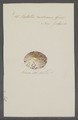 Patella radians - - Print - Iconographia Zoologica - Special Collections University of Amsterdam - UBAINV0274 081 08 0013.tif