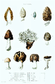 Paulet - Ascomycota.png