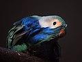 Peachfaced love bird.(Agapornis) (9779475121).jpg