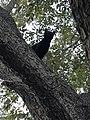 Pecan tree 2017 Bossier City, LA.jpg