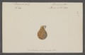 Pecten spec. - - Print - Iconographia Zoologica - Special Collections University of Amsterdam - UBAINV0274 075 01 0072.tif