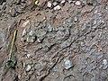 Pedogenic breccia (Conemaugh Group, Upper Pennsylvanian; creek cut on the western side of Caldwell, Ohio, USA) 25.jpg