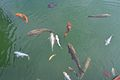 Peixos a la bassa del club de golf de Xàbia.JPG