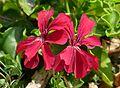 Pelargonium peltatum J1.jpg