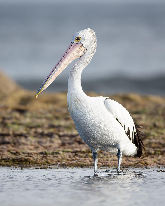 Pelican a sea animal