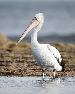 Australian pelican species of bird