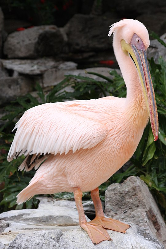 Păsările României - Wikiwand
