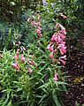 Penstemon 'Hidcote Pink' beardtongues in the West Garden Hatfield House Hertfordshire England 02.jpg