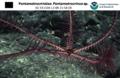 Pentametrocrinus sp.png