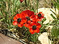 Persian Buttercups 05.jpg