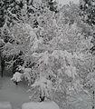 Persinomin tree.JPG