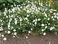 Petunia axillaris (Solanaceae) plant.JPG