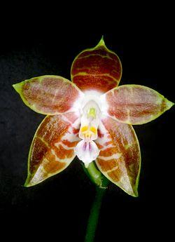 Phalaenopsis venosa Orchi 985.jpg