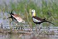 Pheasant-tailed Jacana*.jpg