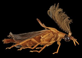 Phengodidae - A male Phengodes