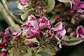 Phlox paniculata Rubymine 1zz.jpg