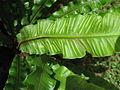 Phyllitis scolopendrium subsp. scolopendrium 02 by Line1.jpg