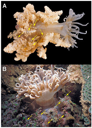 Phyllodiscus - A = Branched morphotype with pseudotentacles (arrows show vesicles) B = Smooth disc morphotype