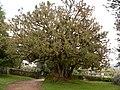 Phytolacca dioica ( Ombú) Árbore senlleira de Galicia - panoramio.jpg