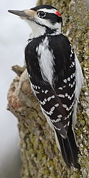 Profile of a medium-sized bird perched on the trunk of a tree. The bird has black-and-white plumage, a long sharp beak, and a spot of red plumage toward the back of its head.